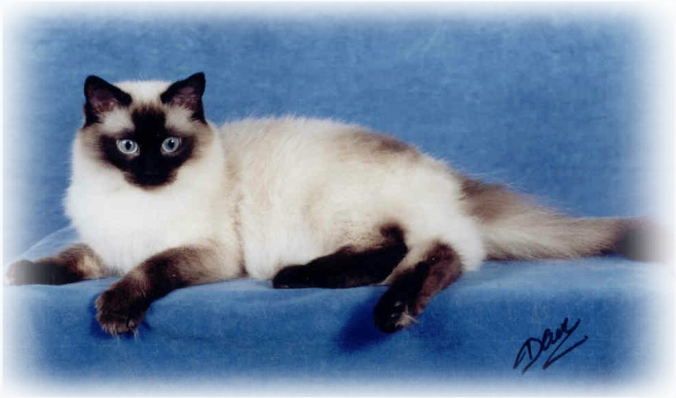 Ragdoll Cat Patterns - BiColor & Colorpoint Ragdoll Kittens